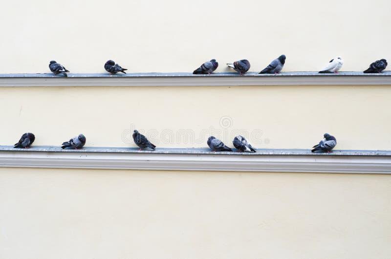 Troupeau des pigeons se reposant sur la saillie de la construction image libre de droits