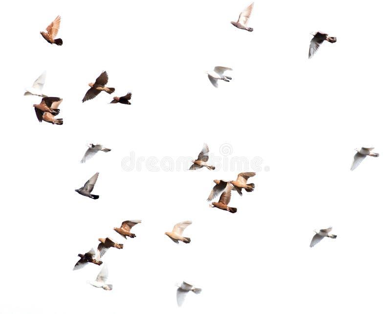 Troupeau des pigeons sur un fond blanc photographie stock libre de droits