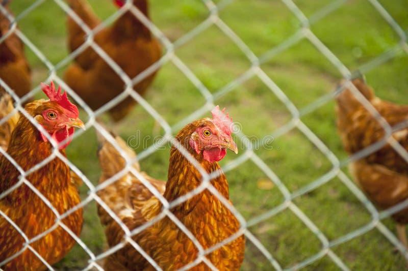 Troupeau des poules photo libre de droits