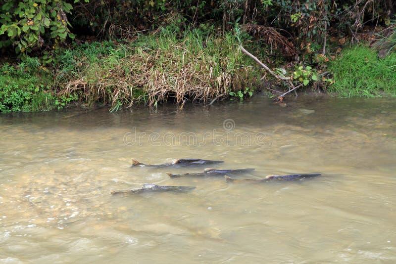 Troupeau des saumons images libres de droits