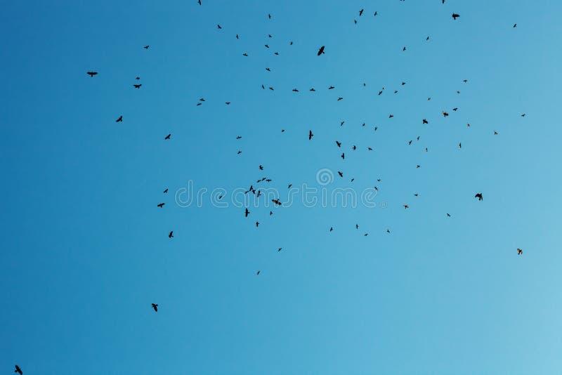 Troupeau des silhouettes de corneilles voler en ciel bleu photos libres de droits