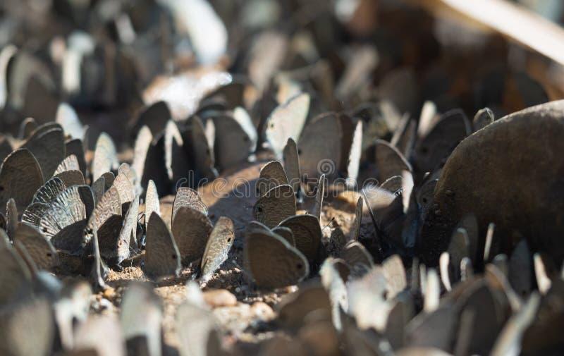 Troupeau du papillon, papillons en nature, beau papillon de nature images libres de droits
