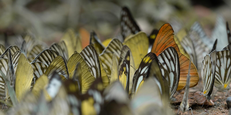 Troupeau du papillon, papillons en nature, beau papillon de nature photographie stock