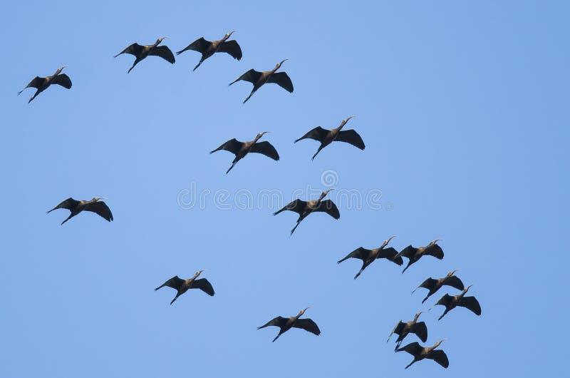 Troupeau du vol au visage pâle d'IBIS dans un ciel bleu photographie stock