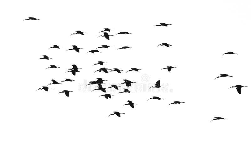 Troupeau du vol au visage pâle silhouetté d'IBIS sur un fond blanc photo stock