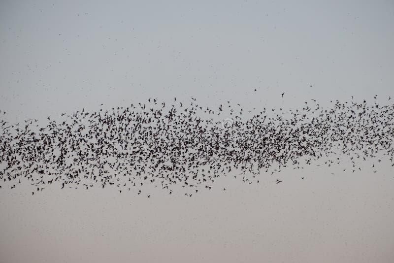 Troupeau du vol de chauve-souris sur le ciel à alimenter photo stock