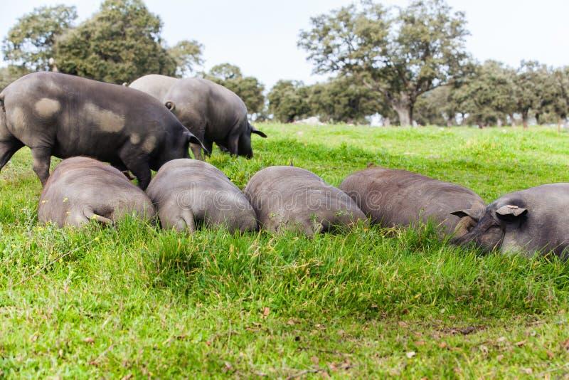 Troupeau ibérien de porc dormant dans un pré vert photographie stock libre de droits