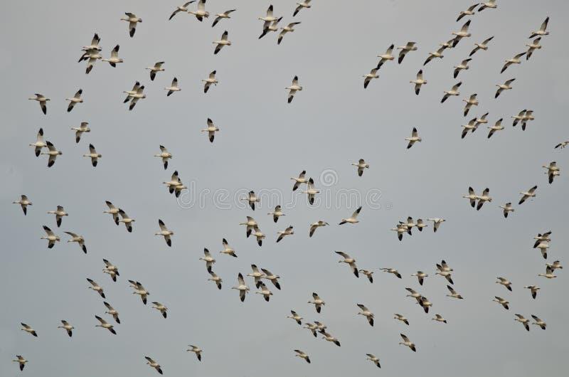Troupeau massif des oies de neige volant au-dessus du marais photos libres de droits