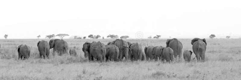 Troupeau noir et blanc d'éléphants africains photos libres de droits
