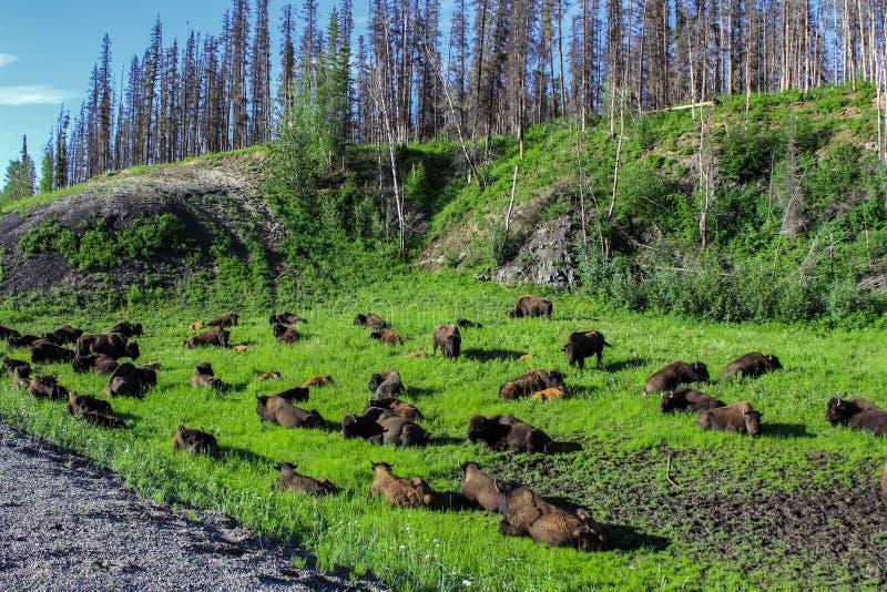 Troupeau sauvage de buffle du côté d'une route de gravier dans Alberta du nord photos stock