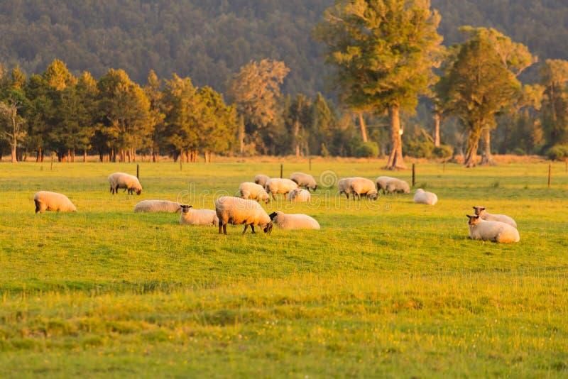 Troupeau sur des moutons avec le ton de coucher du soleil image stock
