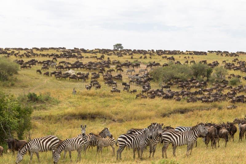 Troupeaux énormes d'ungulates sur les plaines de Mara de masai Le Kenya, Afrique photographie stock libre de droits