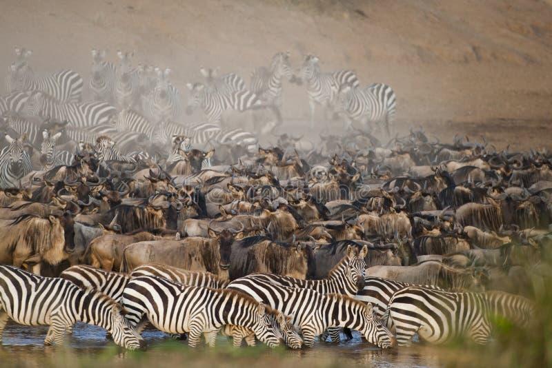Troupeaux de zèbre et de gnou sur Mara River, Kenya image stock
