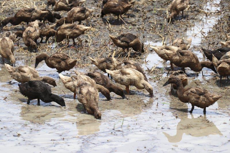 Troupeaux des canards élevés dans les domaines photos stock