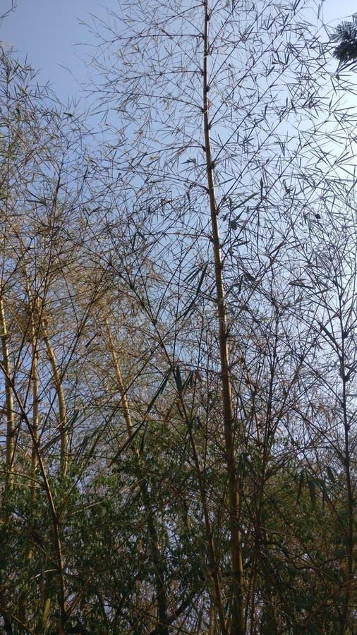 Troupeaux en bambou photo stock