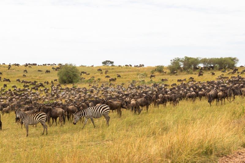 Troupeaux très grands d'ungulates sur les plaines de Serengeti Le Kenya, Afrique image libre de droits