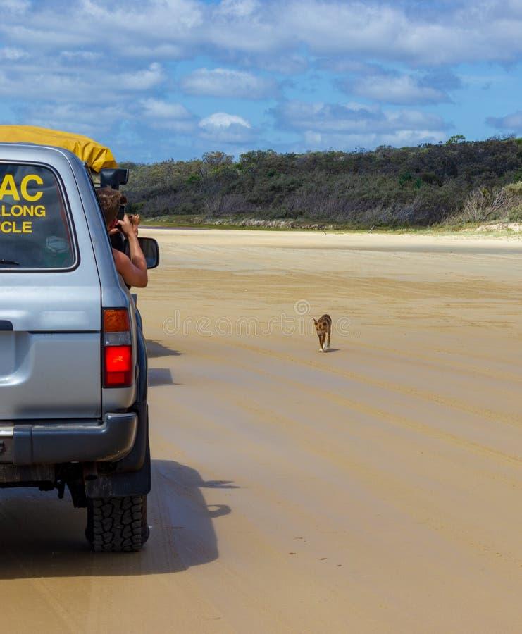 trourist die beelden van een Dingo nemen uit de auto, op het strand in Groot Sandy National Park, Fraser Island Waddy Point, QLD, stock fotografie