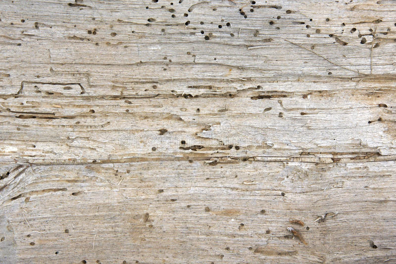 Trous et terriers de ver de bois photo stock