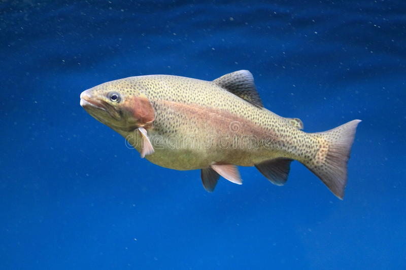 Download Trout stock photo. Image of animal, nature, trutta, brown - 27703830