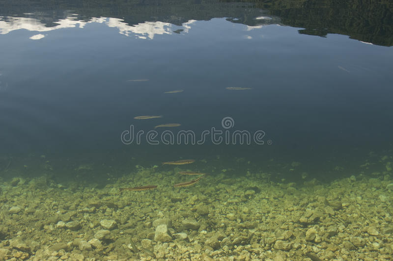 Trout in the Bohin lake. Cristal cler water of Bohin lake with floating trout, Slovenia stock photo
