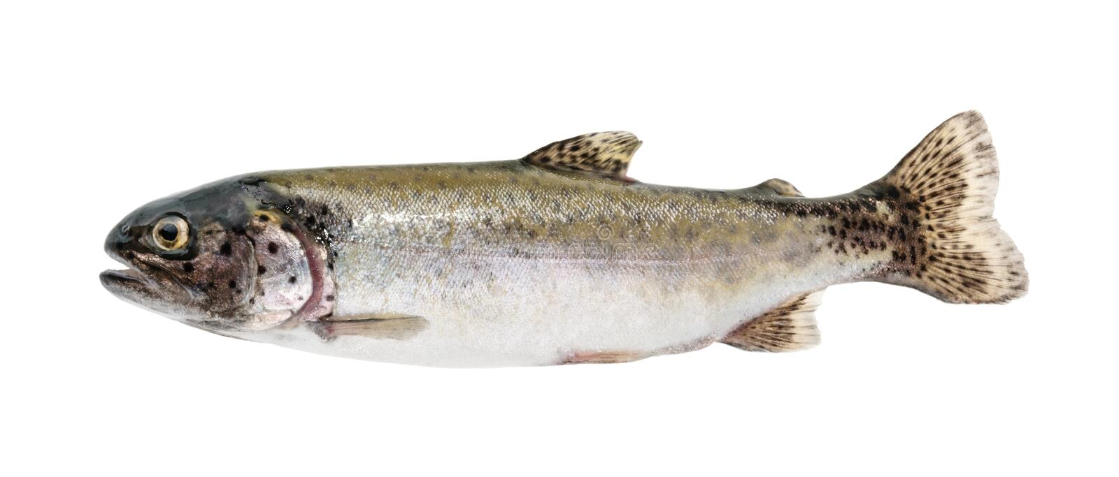 Trout fish isolated on white without shadow royalty free stock photos