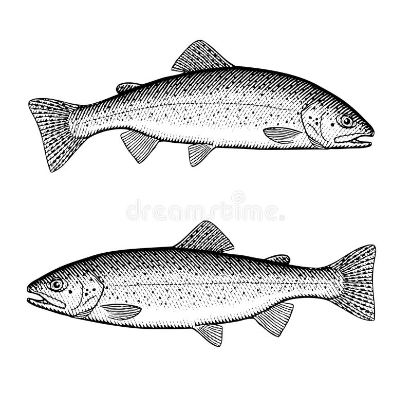 Trout. Hand drawn illustration of a trout royalty free illustration
