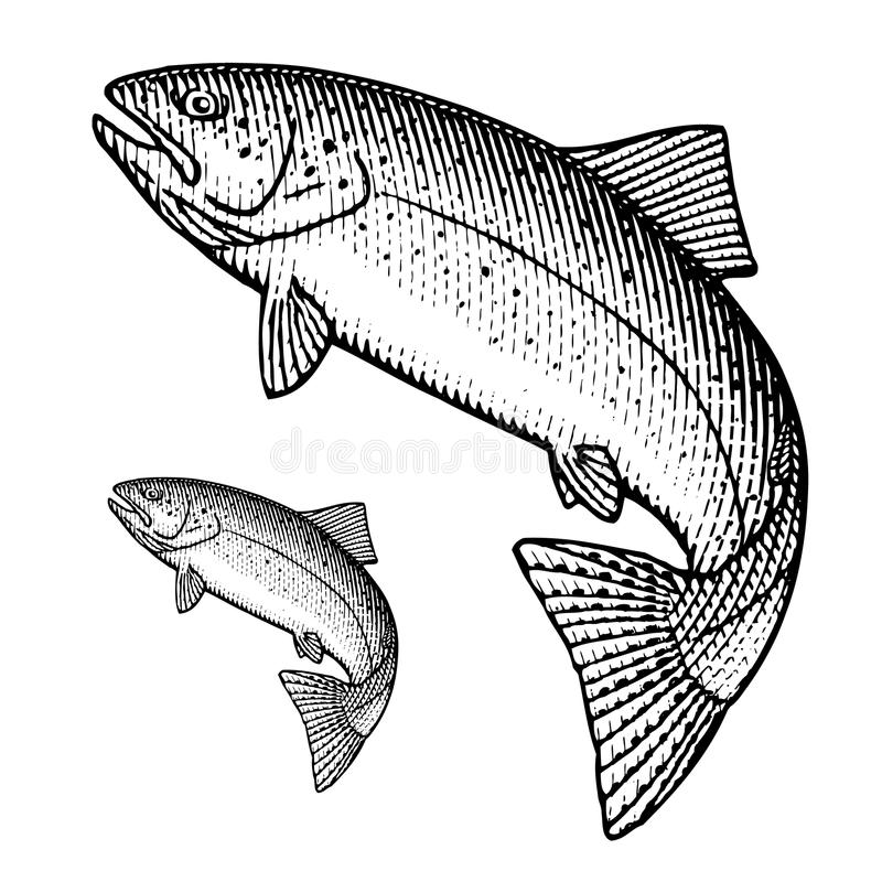 Trout. Hand drawn illustration of a jumping trout royalty free illustration