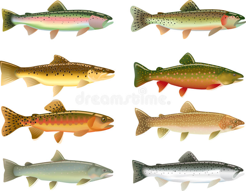 Trout. Illustrations of different trout species vector illustration