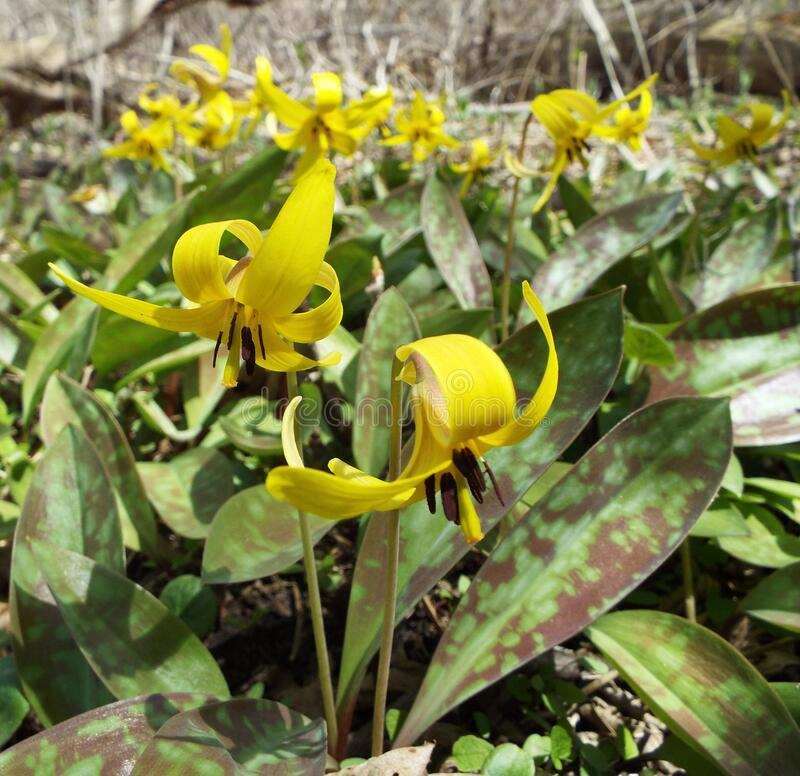 Trout lilies royalty free stock photos