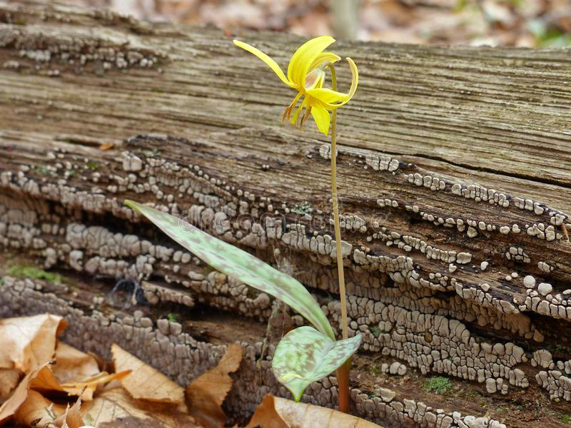Trout Lily 4 royalty-vrije stock foto