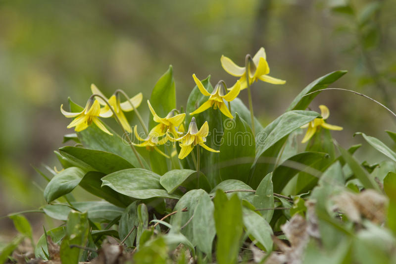 Download Trout lily stock image. Image of lily, drops, flower - 30869135