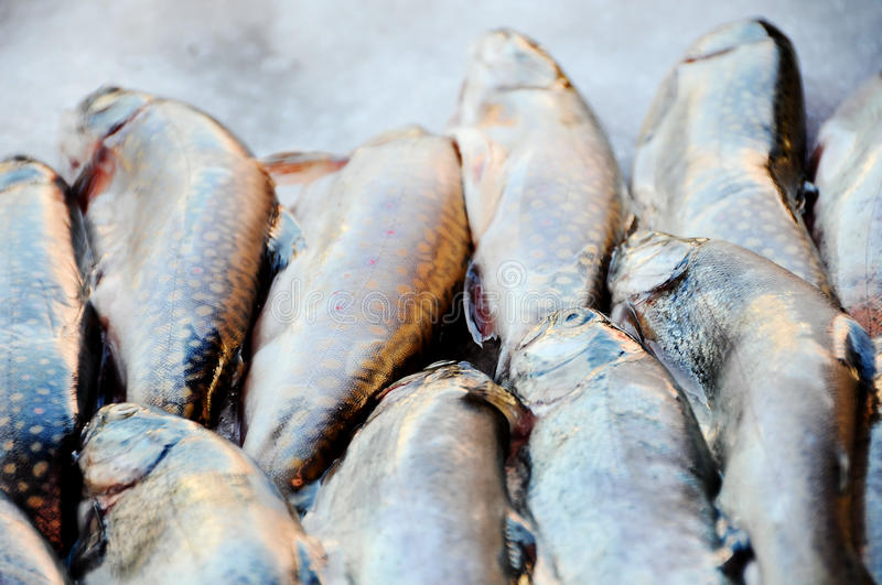 Download Trouts Stock Photo - Image: 11593540