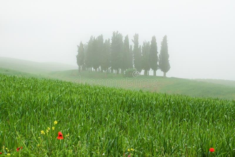 Trres del Cypress in nebbia in Toscana italiana immagine stock