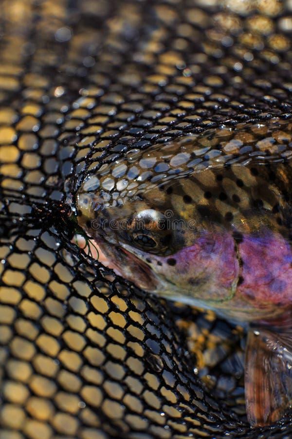 Trucha arco iris en red foto de archivo
