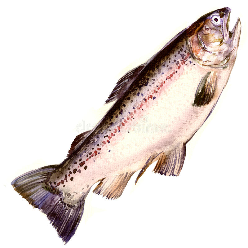 Trucha arco iris, pescado de color salmón aislado, ejemplo de la acuarela en blanco imagen de archivo