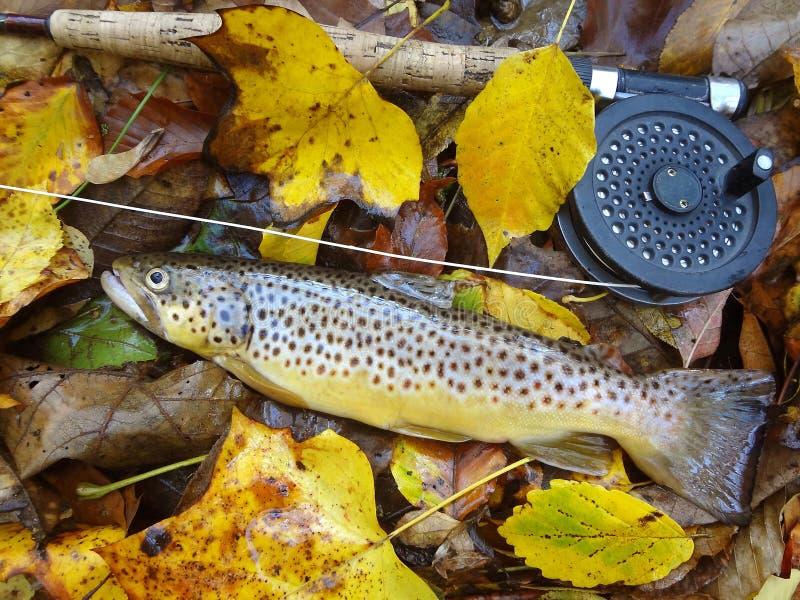 Trucha de Brown manchada del otoño foto de archivo