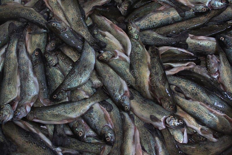 Trucha pesquera foto de archivo