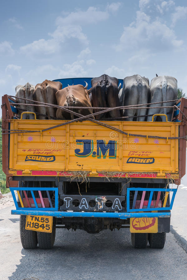 Truck with living cattle. Chettinad, India - October 16, 2013: Yellow and blue Tata truck seen from the back. Holds living cattle, also seen from the back. Near royalty free stock image