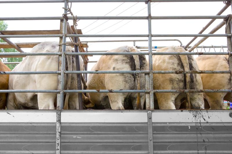 Truck Transport Beef Cattle Cow livestock.  royalty free stock photo
