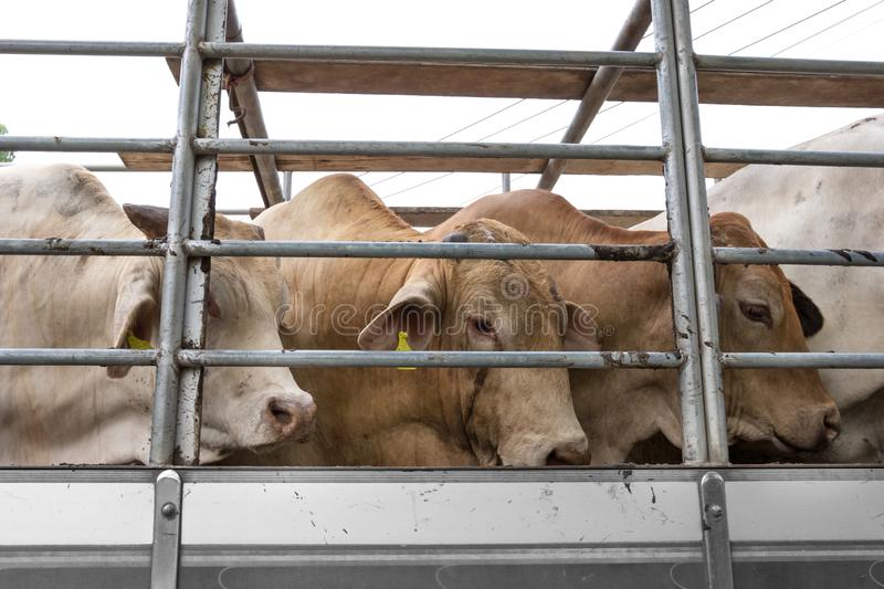 Truck Transport Beef Cattle Cow livestock royalty free stock photos