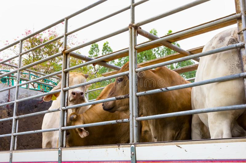 Truck Transport Beef Cattle Cow livestock royalty free stock images