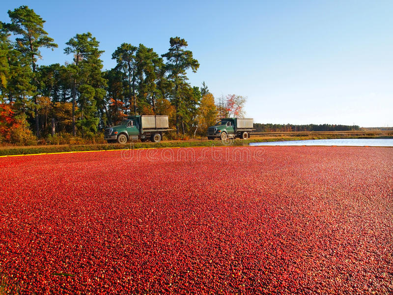 Trucks At Cranberry Bog. Trucks for transporting cranberries off to a processing plant drive along the edge of the vibrant, red berry filled bog, in the Pine stock photos