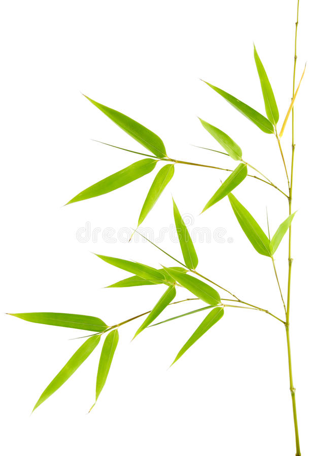 Download True Bamboo Young Plant stock image. Image of china, leaves - 16684151