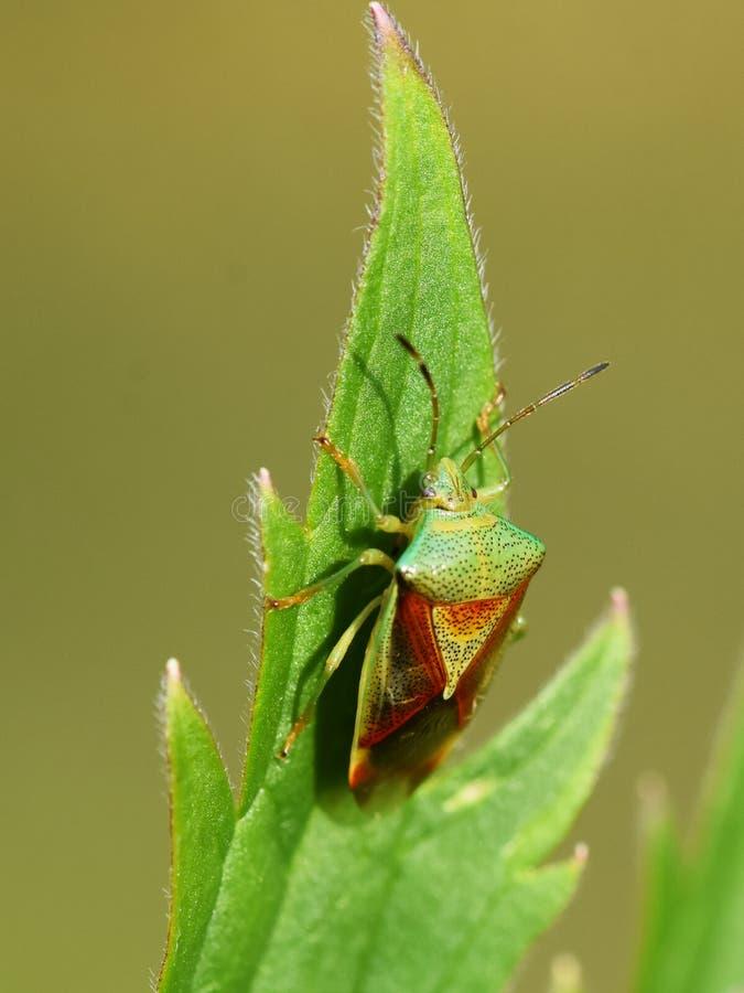 Free True Bug Acanthosoma Haemorrhoidale Royalty Free Stock Images - 132741849