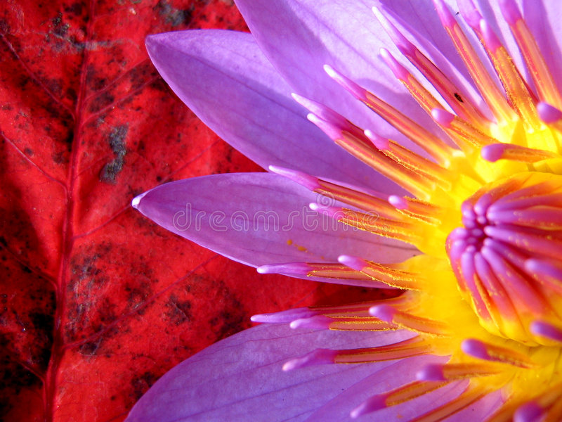 True Colors. Beautiful waterlily on a background of a red leaf stock photography