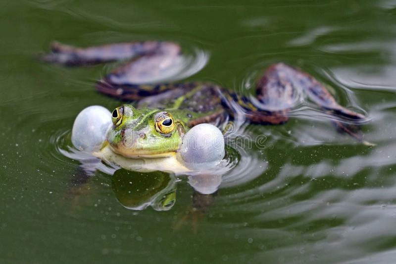 True frog in pond. A True frog in pond stock images