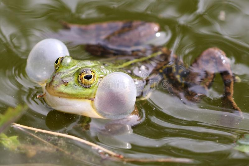 True frog in pond. A True frog in pond close up stock photos
