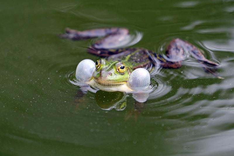 True frog in pond. A green True frog in pond stock images