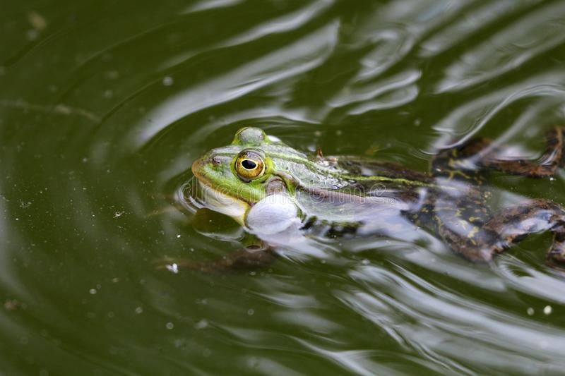 True frog in pond. A True frog in pond royalty free stock image