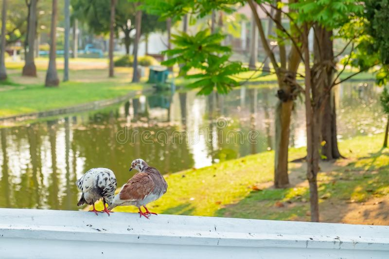 The true love of a couple of pigeons that will be together forever. They are on the bridge railings in the park, love concept royalty free stock photo